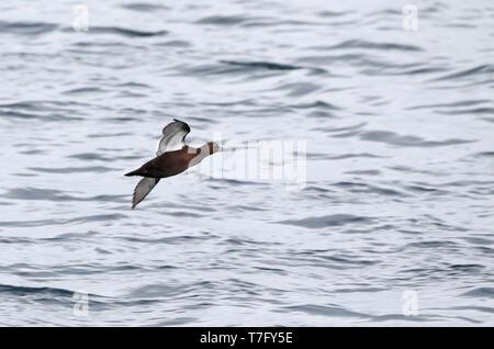 Female type Steller's Eider (Polysticta stelleri) in flight at Varanger in north Norway. - Stock Photo