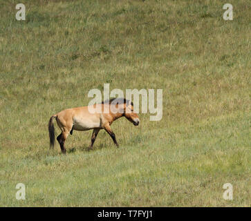 Przewalski's Horse (Equus przewalskii) in Khustain Nuruu National Park, Mongolia. Once extinct in the wild, now reintroduced. - Stock Photo
