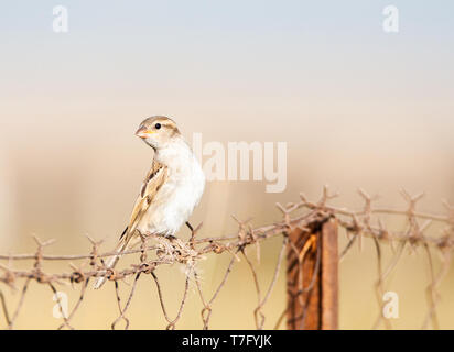 Immature House Sparrow (Passer domesticus) on Lesvos, Greece. Perched on a greek fench. - Stock Photo