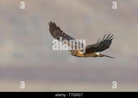Immature Northern Harrier (Circus hudsonius) in flight Riverside Co., CA January 2016 - Stock Photo