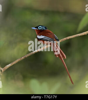 Male Madagascar Paradise Flycatcher (Terpsiphone mutata) also known as Malagasy paradise flycatcher, perched on  a twig in Madagascar. - Stock Photo