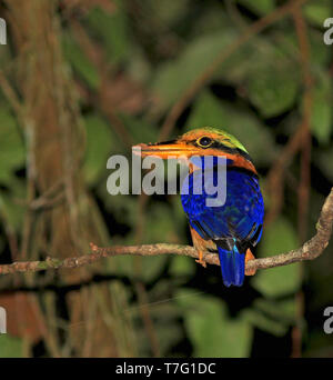 Rufous-collared kingfisher (Actenoides concretus) in rain forests of Sumatra in Indonesia. - Stock Photo
