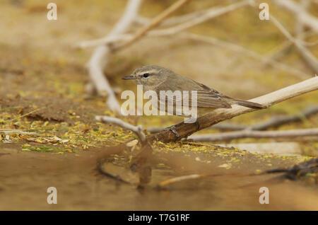 Plain Leaf Warbler (Phylloscopus neglectus) at Al Abraq - Kuwait. - Stock Photo