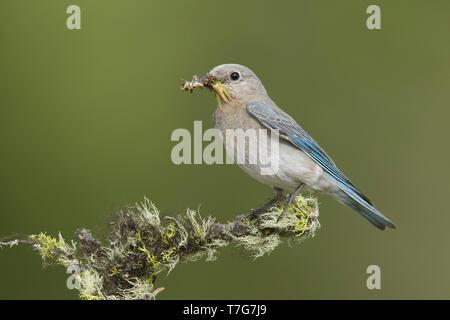 Adult female Mountain Bluebird, Sialia currucoides Kamloops, B.C. June 2015 - Stock Photo