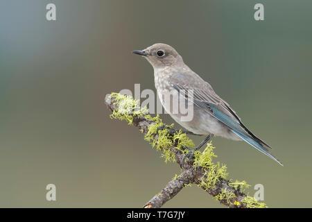 Juvenile Mountain Bluebird, Sialia currucoides Lake Co., Oregon August 2015 - Stock Photo