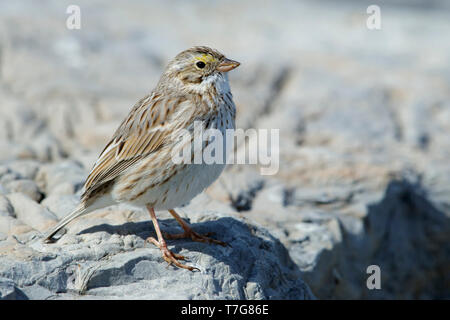 Adult Savannah Sparrow (Passerculus sandwichensis (Ipswich race) in late winter, standing on a rock in Ocean County, New Jersey, USA. - Stock Photo