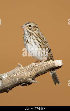 Adult Savannah Sparrow (Passerculus sandwichensis) in late autumn perched on a branch in in Riverside County, California, USA. - Stock Photo