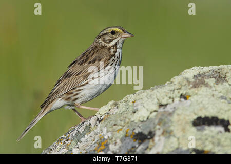 Adult Savannah Sparrow (Passerculus sandwichensis) perched on a rock in Kamloops, British Colombia, Canada. - Stock Photo
