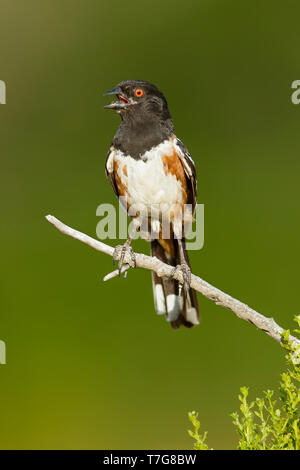 Adult Spotted Towhee (Pipilo maculatus) singing from a twig in Los Angeles County, California in USA. - Stock Photo
