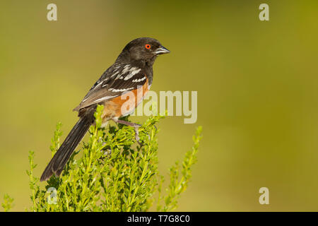 Adult Spotted Towhee (Pipilo maculatus) perched on a twig in Los Angeles County, California in USA. - Stock Photo