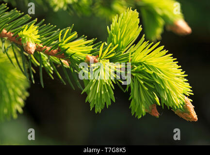 Expanding pale-green shoots from reddish-brown buds of Norway Spruce, Picea abies, in spring. - Stock Photo
