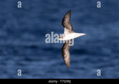 Adult Zino's Petrel or freira (Pterodroma madeira) off Madeira. Flying above the Atlantic ocean. Seen from the side, showing under wing pattern. - Stock Photo