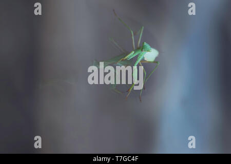 Close up macro of praying mantis resting on double glazed window. The face is in focus with the body blurred. The reflection is doubled from the glass. - Stock Photo