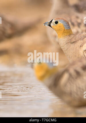 Male Crowned Sandgrouse (Pterocles coronatus) at drinking pool in southern Negev desert of Israel during spring migration. - Stock Photo