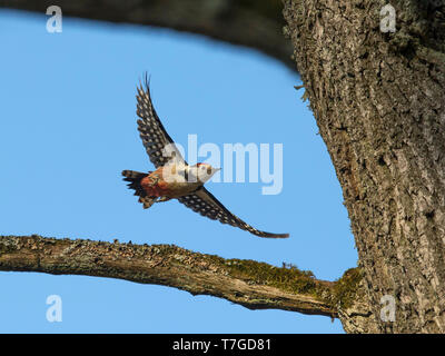 Frontal view of a Middle Spotted Woodpecker (Dendrocoptes medius) in flight. Estonia - Stock Photo