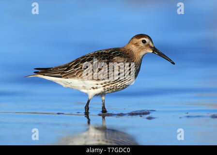 First-winter Dunlin (Calidris alpina) at Hyères - France - Stock Photo