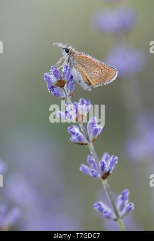 Dew covered Lulworth Skipper (Thymelicus acteon) resting on small plant with purple flowers in Mercantour in France. - Stock Photo