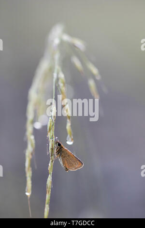 Lulworth Skipper (Thymelicus acteon) perched on small grass covered with dew in Mercantour in France, against a natural purple background. - Stock Photo