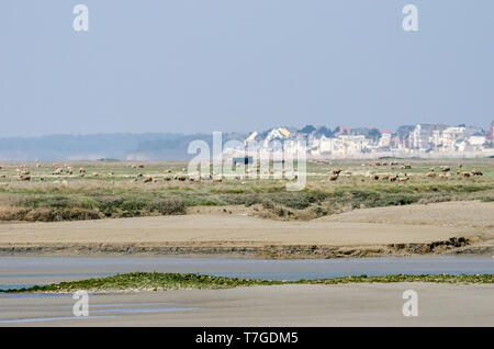Salt marsh and sheep in the French Baie de somme - Stock Photo