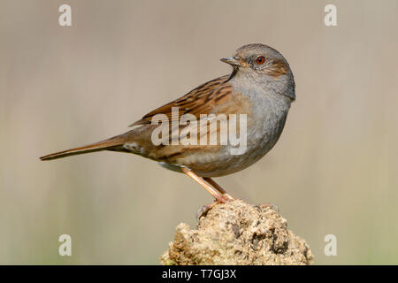Dunnock, Adult perched on a stone, Campania, Italy (Prunella modularis) - Stock Photo