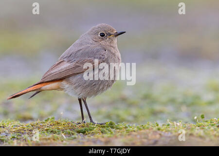 Black Redstart, Campania, Italy (Phoenicurus ochruros) - Stock Photo