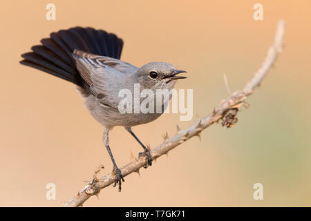 Blackstart, Displaying on a twig, Ayn Hamran, Dhofar, Oman (Oenanthe melanura) - Stock Photo