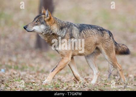 Italian Wolf (Canis lupus italicus), captive animal walking, Civitella Alfedena, Abruzzo, Italy - Stock Photo