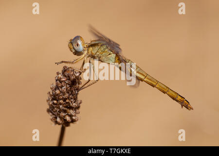 Imago Vuurlibel; Adult Scarlet Darter; Adult Broad Scarlet - Stock Photo