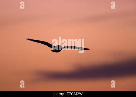 Adult Common Barn Owl (Tyto alba alba) silhouette well after sunset in Spain. Bird gliding through the air, against a stunning pink evening sky as bac - Stock Photo