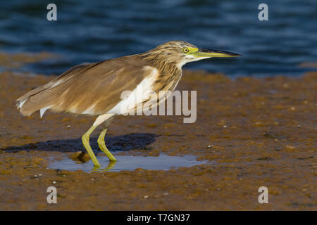 Squacco Heron (Ardeola ralloides), individual standing in a pond in Oman - Stock Photo