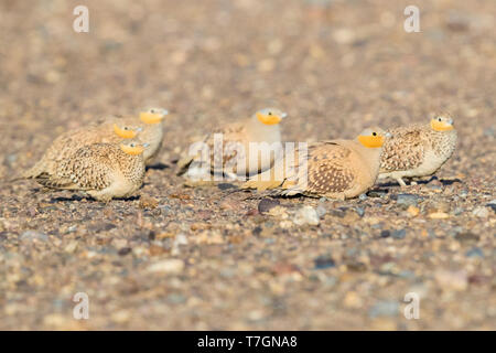 Spotted Sandgrouse (Pterocles senegallus), small flock resting on the ground in Morocco - Stock Photo