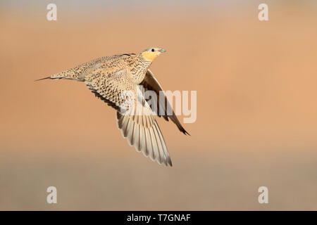 Spotted Sandgrouse (Pterocles senegallus), adult female in flight - Stock Photo