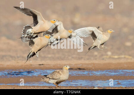 Spotted Sandgrouse (Pterocles senegallus), small flock landing at drinking pool - Stock Photo