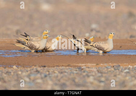 Spotted Sandgrouse (Pterocles senegallus), small flock at drinking pool - Stock Photo