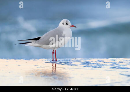Black-headed Gull (Chroicocephalus ridibundus), side view of adult in winter plumage standing on the shore in Campania (Italy) - Stock Photo