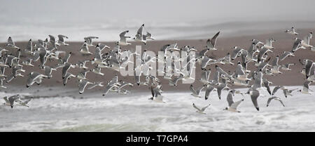 Large wintering flock of Franklin's Gull (Leucophaeus pipixcan) taking off from a beach at the pacific coast of Chile. - Stock Photo