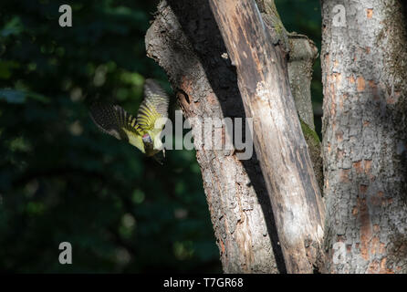 Adult Green Woodpecker (Picus viridis) taking off from an old tree in a rual forest in central Bulgaria near Veliko Tarnovo. Flying towards the photog - Stock Photo