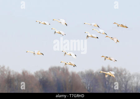 Flock of Bewick's Swans (Cygnus bewickii) landing on a field in the Netherlands during autumn. Just arrived from their breeding grounds. - Stock Photo