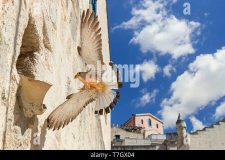 Lesser Kestrel (Falco naumanni), adult male arriving at nest in Matera - Stock Photo