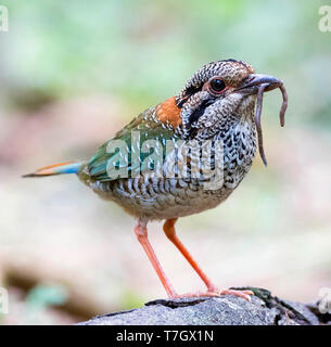 Adult Scaly Ground Roller (Geobiastes squamiger) standing on fallen tree with caught worm as prey in tropical rainforest in Madagascar. - Stock Photo