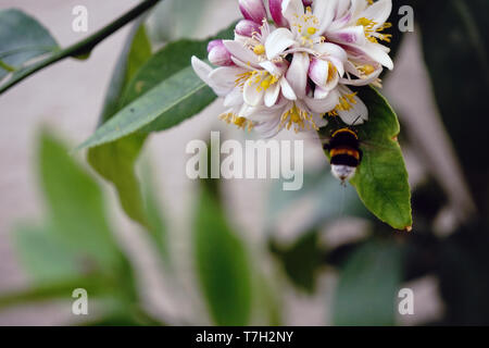 Bee on the lemon flower close up view - Stock Photo