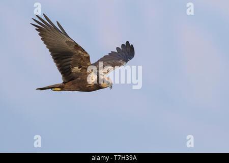 Marsh Harrier (Circus aeruginosus), adult female in flight in Oman - Stock Photo