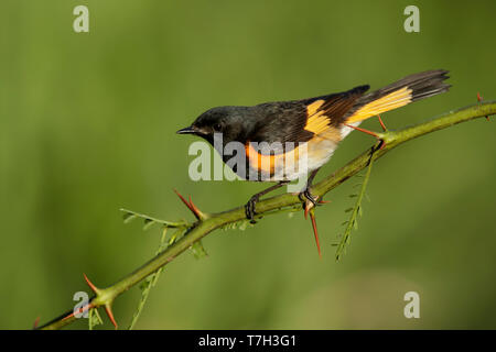 Adult male American Redstart (Setophaga ruticilla) Galveston Co., Texas, USA in spring. - Stock Photo