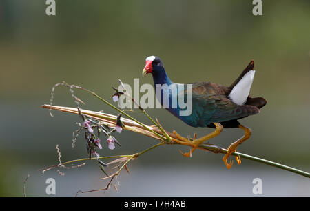 Adult American Purple Gallinule (Porphyrio martinicus) balancing on a small twig in Green Cay Nature Center, Florida in the USA. - Stock Photo