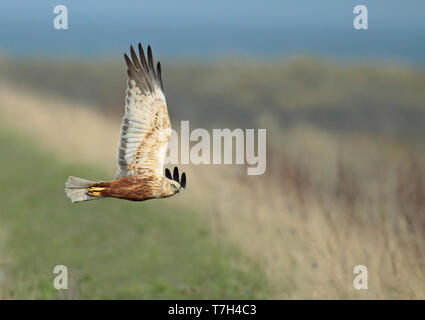 Western Marsh Harrier (Circus aeruginosus) adult male in flight, seen from the side, showing under wing. - Stock Photo