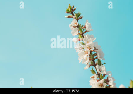 Colorful beautiful spring cherry branch with blooming flowers on a clear blue sky. Great blue background - Stock Photo