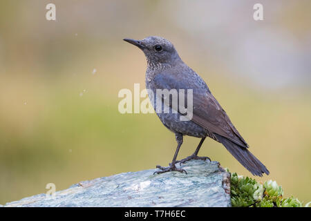 Female Blue Rock Thrush (Monticola solitarius) perched on a rock in Italy. - Stock Photo
