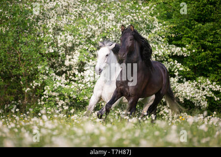 Pure Spanish Horse, Andalusian. Blind gelding and its friend a juvenile black stallion galloping on a flowering meadow. Switzerland, - Stock Photo