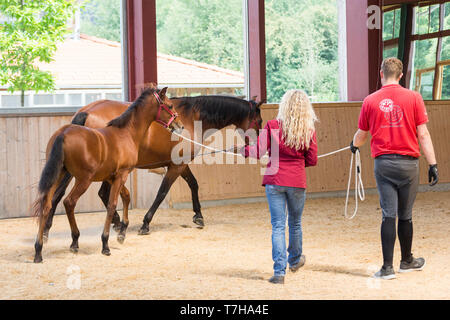 Iberian Sport Horse. A foal learns to walk on the lunge using its mothers example. Germany - Stock Photo