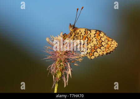 Knapweed Fritillary (Melitaea phoebe) perched on top of a small purple flower in Mercantour in France. Seen against a natural colored background. - Stock Photo
